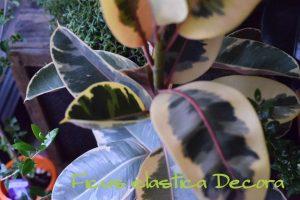 ゴムの木 観葉植物 インテリアプランツ