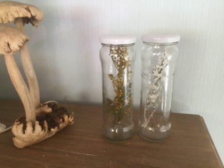 今はやりの植物図鑑なるものを空き瓶利用して作ってみました。左はミモザアカシア、右はシロタエソウです。