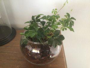 ベラボンを使って、シュガーパインを植えてみました。ベラボンは土ではありませんので、室内向きです。