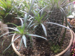 コーデックス類、塊茎植物、多肉植物、トゲ、