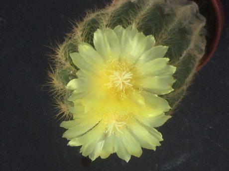 少し前の画像ですが、綺麗な黄色い花が咲きました。