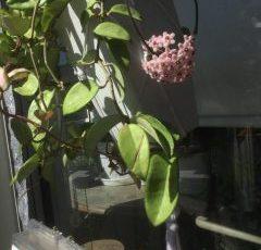 綺麗な花です。ロウがかったはなです。