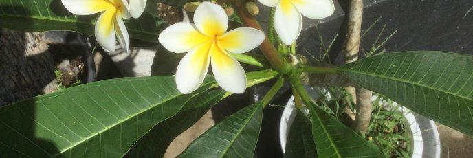 ハワイの花、プルメリア、白色で中心部分黄色です。日光大好き、
