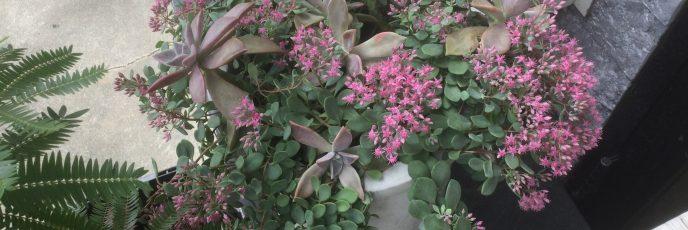ミセバヤ、ピンク色の花